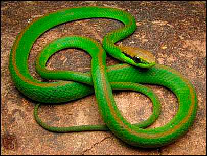 Cobra Cipó em São Leopoldo - Capturada cobra cipó em residência de São Leopoldo
