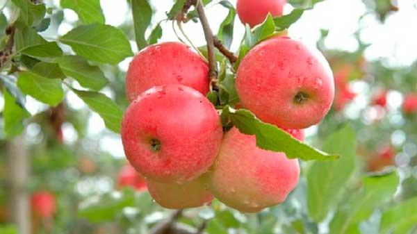Foto Aires Mariga Epagri - Frio traz ótimas expectativas de safra aos produtores de maçã em Santa Catarina