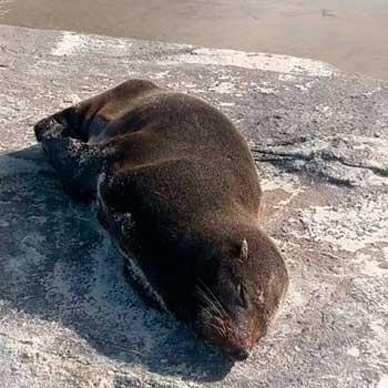 Lobo Marinho - Lobos e Leões Marinhos começam a ser avistados em Torres, no litoral gaúcho