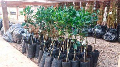 Mudas de árvores frutíferas flores da cunha 1 390x220 - 3.500 mudas são entregues para pomar comercial em Flores da Cunha