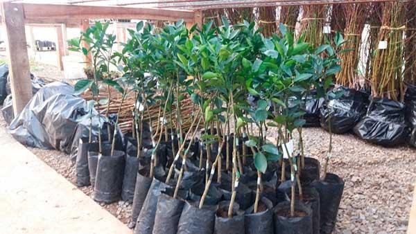 Mudas de árvores frutíferas flores da cunha 1 - 3.500 mudas são entregues para pomar comercial em Flores da Cunha