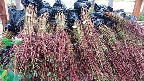 Mudas de árvores frutíferas flores da cunha 2 - 3.500 mudas são entregues para pomar comercial em Flores da Cunha