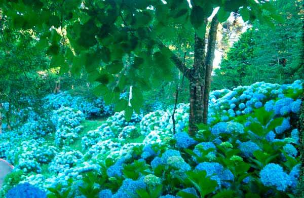 Plnatio de hortências em Gramado RS 1 - Gramado incentiva plantio de hortênsias no município