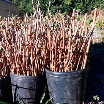 Plnatio de hortências em Gramado RS 3 - Gramado incentiva plantio de hortênsias no município