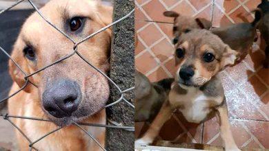 dogscaxias 390x220 - Canil de Caxias do Sul dispõe de filhotes para adoção
