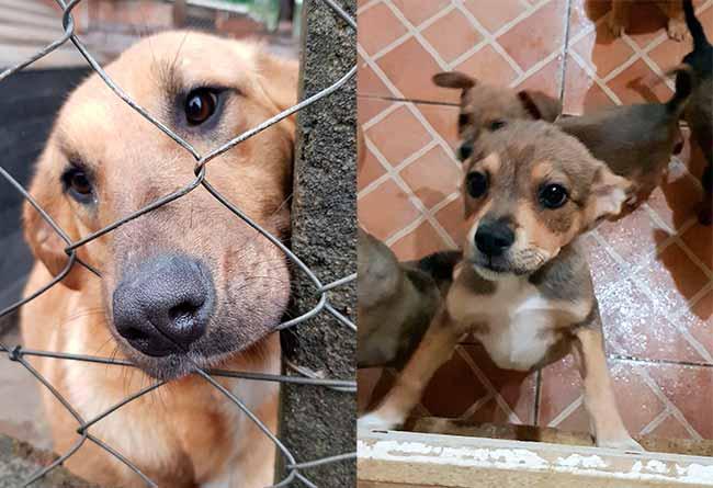 Revista News dogscaxias Canil de Caxias do Sul dispõe de filhotes para adoção