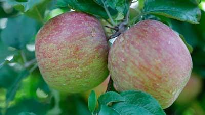 epagri sao joaquim santa catarina maçã - Frio traz ótimas expectativas de safra aos produtores de maçã em Santa Catarina