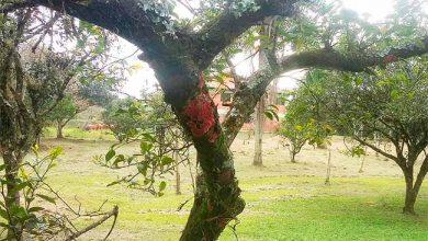 líquen de coloração rosa 390x220 - Líquen raro em centros urbanos é descoberto em parque de São Leopoldo