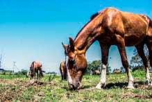 projeto Adoção de Cavalos 1 - Pelotas: Terceira edição do ano do projeto Adoção de Cavalos traz novidades