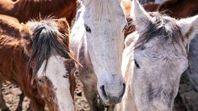 projeto Adoção de Cavalos 390x220 - Pelotas: Terceira edição do ano do projeto Adoção de Cavalos traz novidades