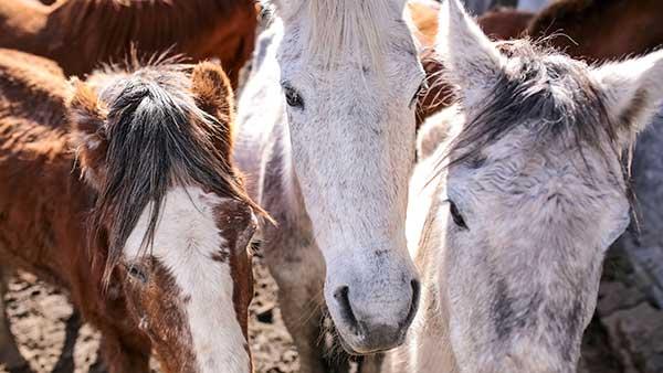 projeto Adoção de Cavalos - Pelotas: Terceira edição do ano do projeto Adoção de Cavalos traz novidades