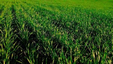 trigo rs 390x220 - Plantio de trigo no RS quase concluído