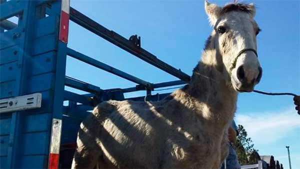 Prefeitura Municipal de Pelotas recolhe cavalos - Prefeitura de Pelotas recolhe 11 cavalos maltratados e soltos em via pública