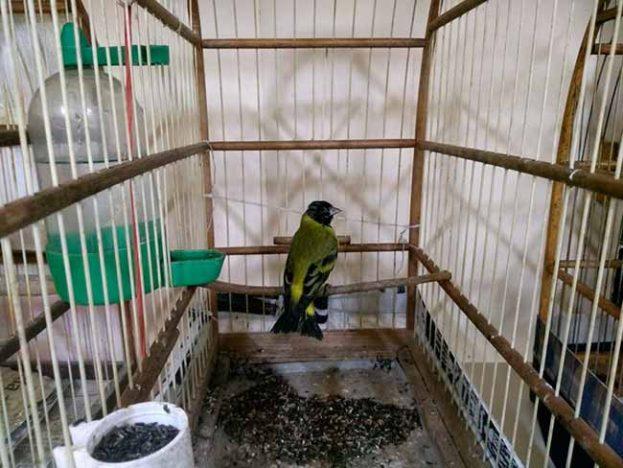avescax 623x468 - Semma resgata 29 aves silvestres em Caxias do Sul