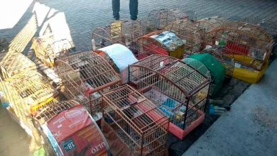 avescaxias 390x220 - Semma resgata 29 aves silvestres em Caxias do Sul