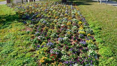 flores cunha flores 390x220 - Flores da Cunha mais bonita com 11 mil mudas de flores