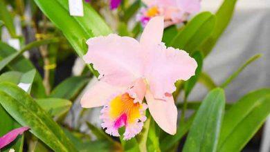 Núcleo Orquidófilo de Dois Irmãos 390x220 - Dois Irmãos sedia 20ª Exposição Regional de Orquídeas