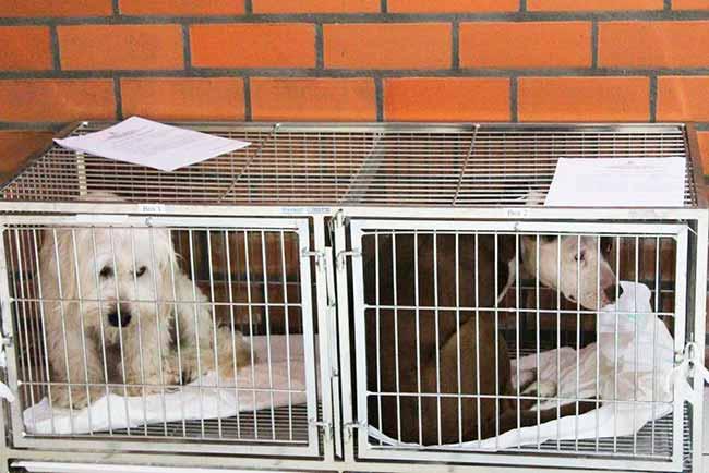 castraçao caxias - Mais de 30 animais foram castrados nesta sexta-feira em Caxias do Sul
