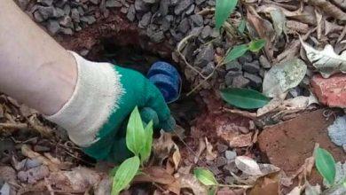 combate a roedores ijui 390x220 - Vigilância Ambiental de Ijuí intensifica combate a roedores