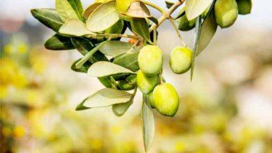 Photo of Ijuí quer incentivar cultivo de oliveiras no município