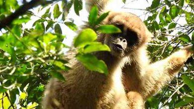 Photo of Refúgios para salvar da extinção o maior macaco das Américas