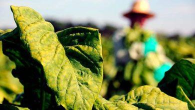 Photo of Agrotóxicos: mais de 85% de produtores de tabaco fizeram curso sobre NR 31