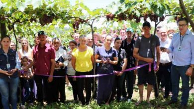 Photo of Colheita da Uva em Ametista do Sul é aberta oficialmente