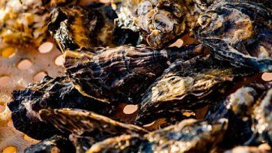 Photo of Cultivo de ostras e mexilhões é interditado em locais do litoral catarinense