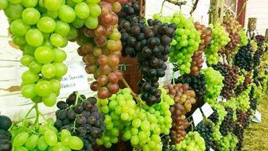 Photo of Flores da Cunha abre inscrições para expor uvas na FenaVindima 2020