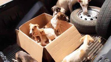 Photo of Polícia resgata oito cães em Porto Xavier