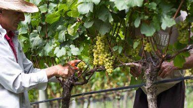 Photo of Vinícolas dos Altos Montes oferecem degustação de uvas e vinhos