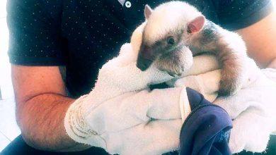 Photo of Filhote de tamanduá é resgatado em Farroupilha
