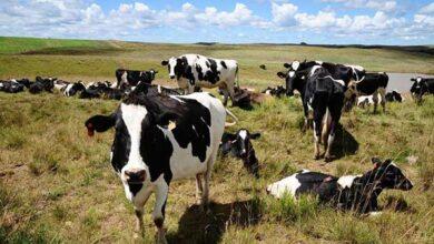 Photo of Caxias deixará de vacinar 40 mil bovinos contra a febre aftosa