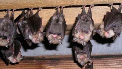 Photo of Smams Porto Alegre alerta para a importância dos morcegos ao equilíbrio ambiental